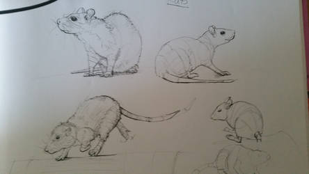 rat drawings