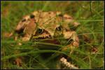 The Common Frog by Tindomiel-Heriroquen