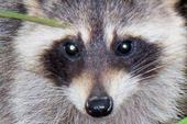 EVERGLADES RACOON PHOTO CARRIE by carriefawnsmom