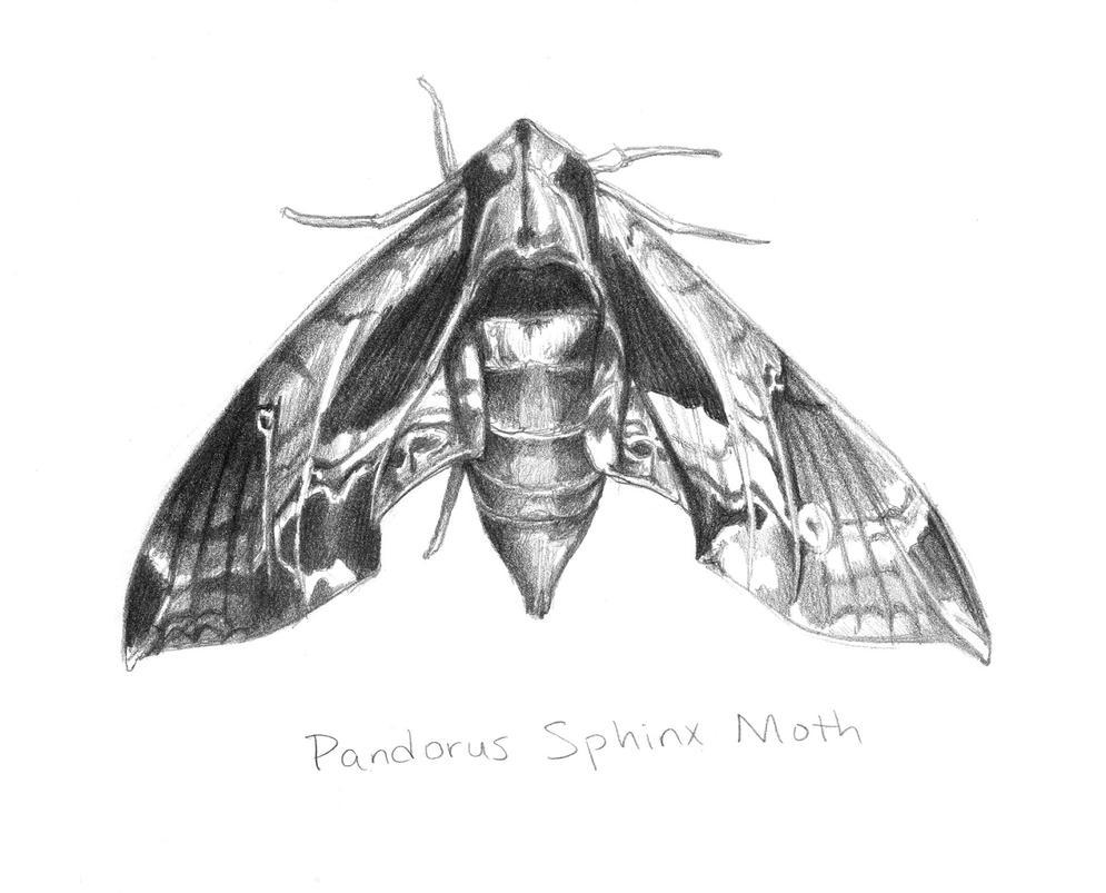 Sphinx Moth - study by Zanikal