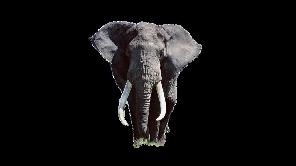 صور فيله صور فيله للتصميم صور فيله png صور فيله elephant_cutout__straight_front_pose_by_jaynikon-d993b5f.png