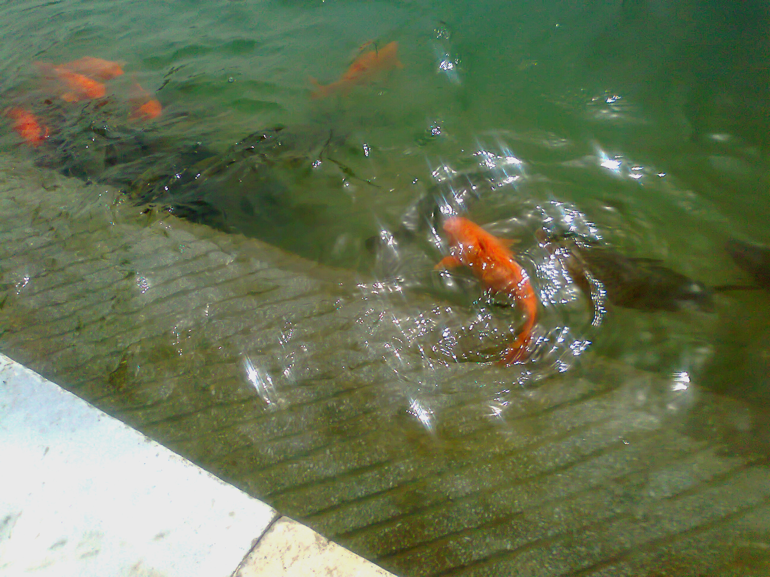 Fish In The Golden Temple Lake By Yashmeet135 On Deviantart