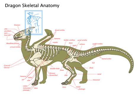 Dragon Anatomy Skeletal EDIT