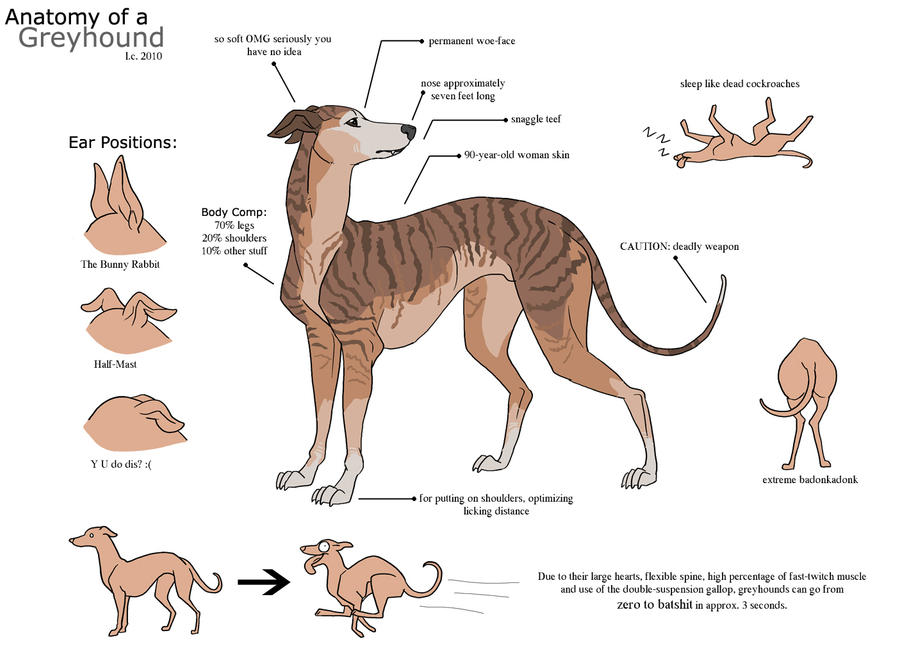 Anatomy of a Greyhound by aureath on DeviantArt
