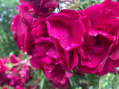 Dewy rose petals
