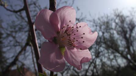 Peach Bloom by Roack