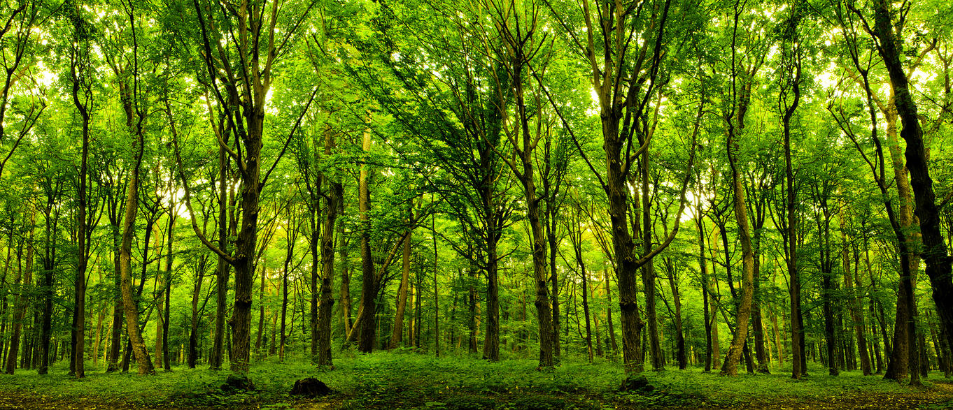 forest trees nature green wood sunlight backgroun by macinivnw on