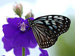 Butterfly by signmeupscotty