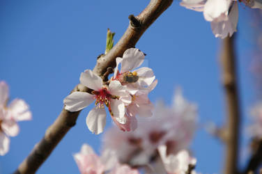 Almond Blossom With Bee