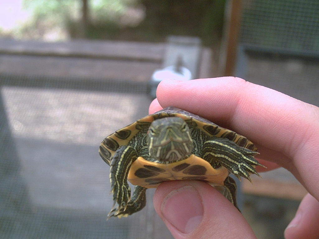 Red Eared Slider Turtle Complete   Home  All Turtles