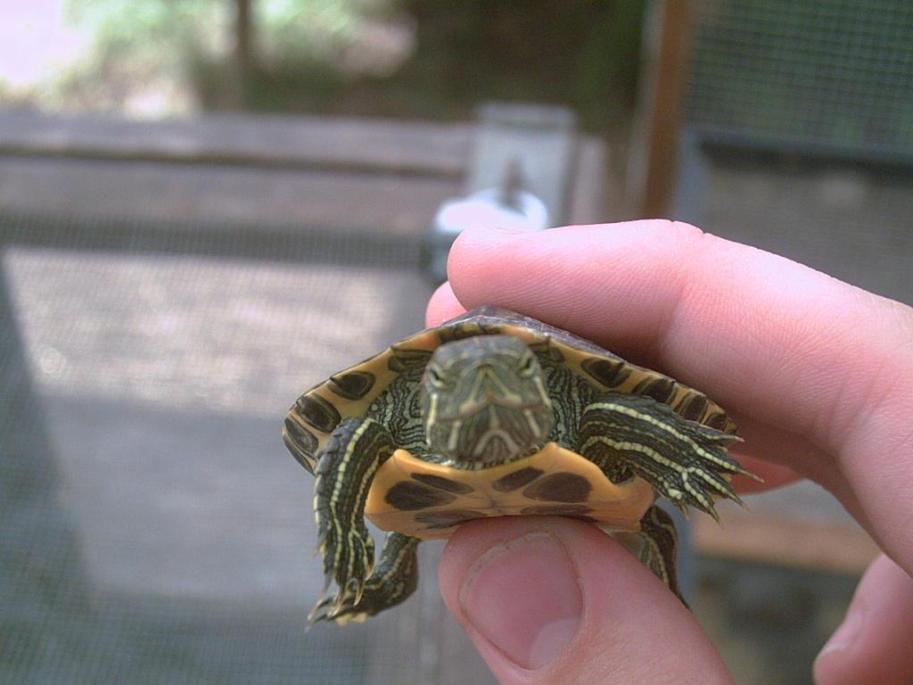 Baby Red-Eared Slider Turtle B by TurtleGuy on deviantART
