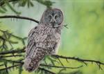 Great Grey Owl by DrawingNynke