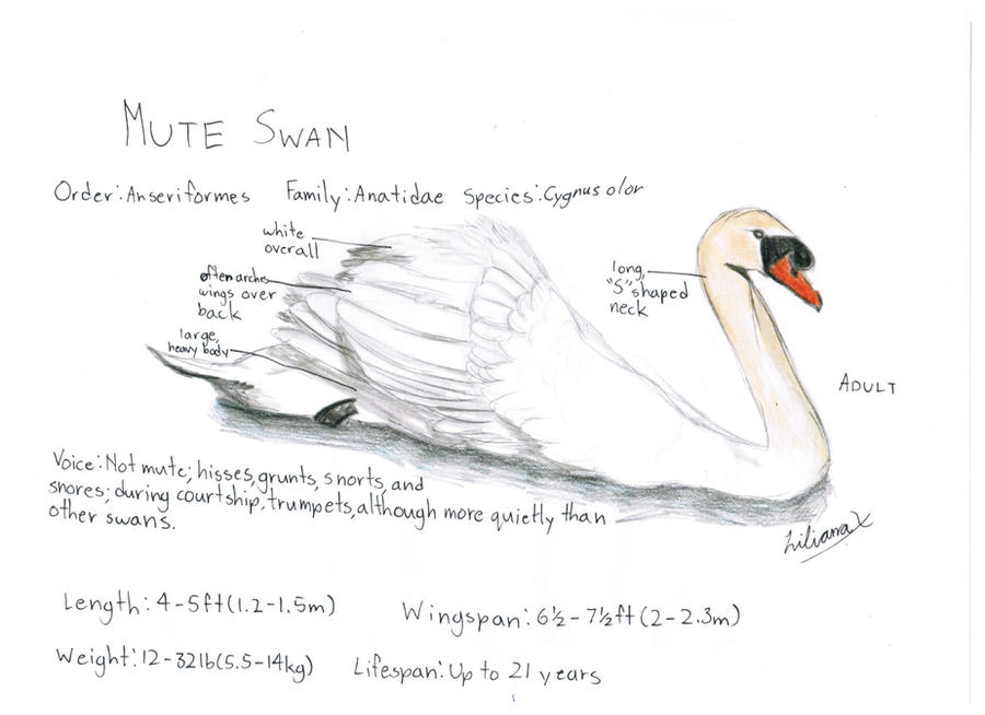 the mute swan essay