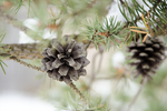 Pinecones by RobertKohler