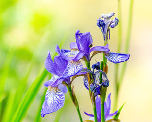 More iris by RobertKohler