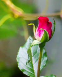 A Rose by RobertKohler
