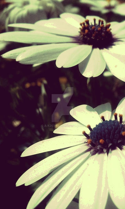 White FLower by A-K207
