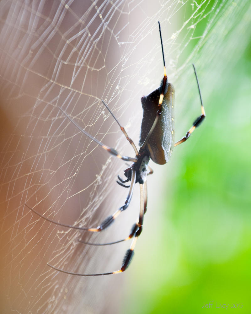 Golden Orb Spider 2 by wetdog969