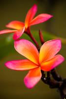 Pink Plumeria by ramblincat