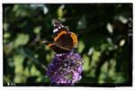Papillon by jackos50