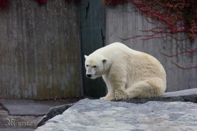 Sad Polar bear by Myrine86