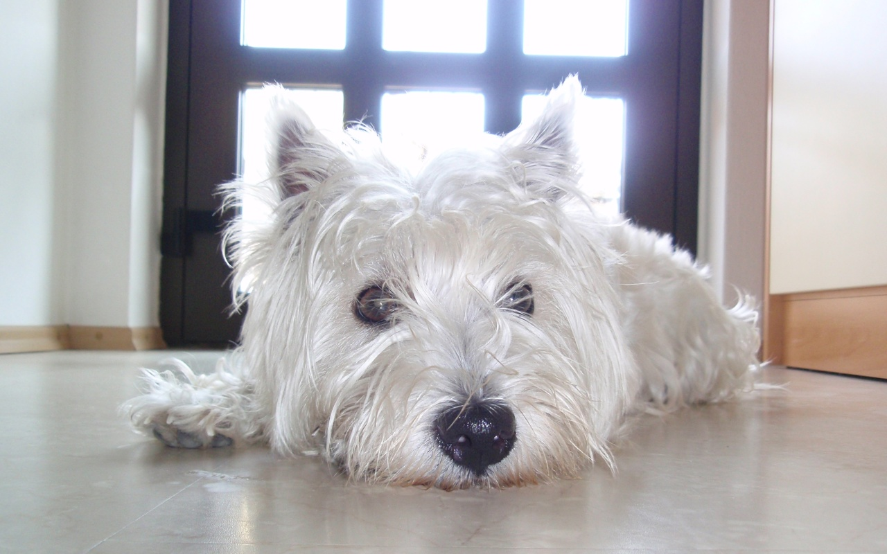 Super Lazy Westie again? by