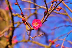Ume flower by Furuhashi335