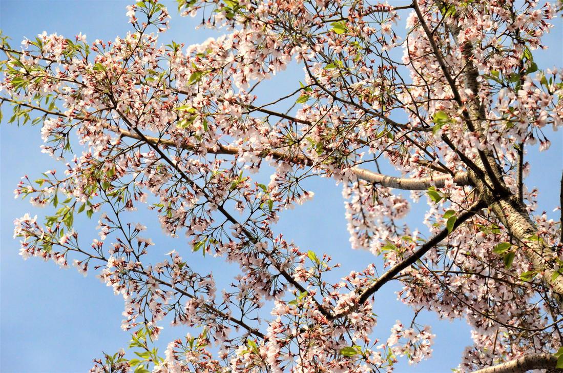 Sakura flowers with some leaves by TFuruhashii