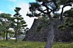 Pine trees and stone wall in Kofu castle