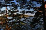 Sea beyond pine trees