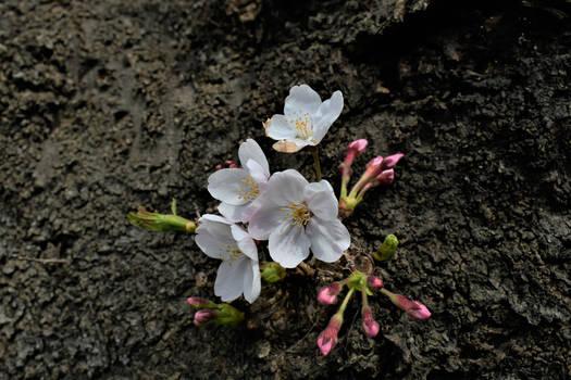 Some cherry flowers
