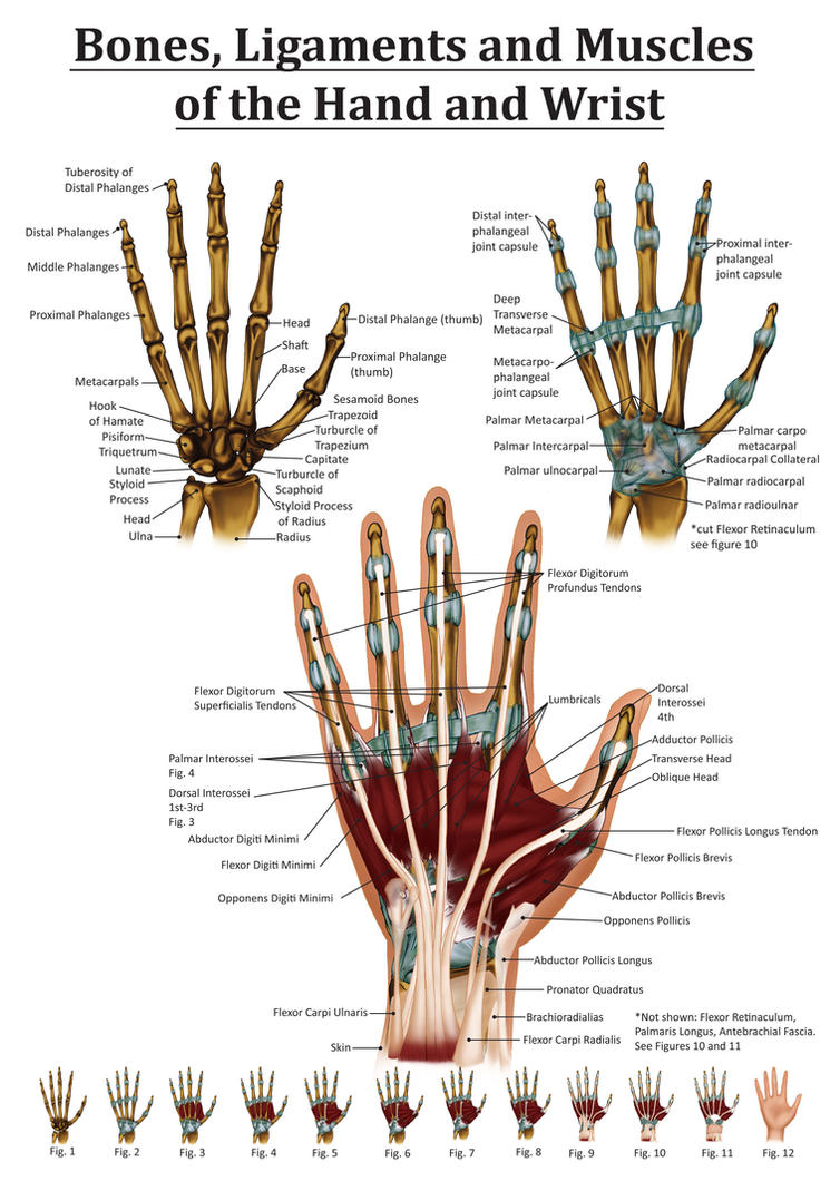 Anatomy Of The Hand And Wrist By Black Rose227 On Deviantart