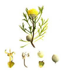 Isopogon anemonifolius by Black-Rose227