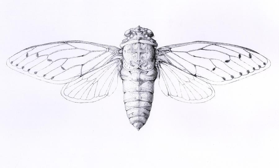 Cicada by Black...