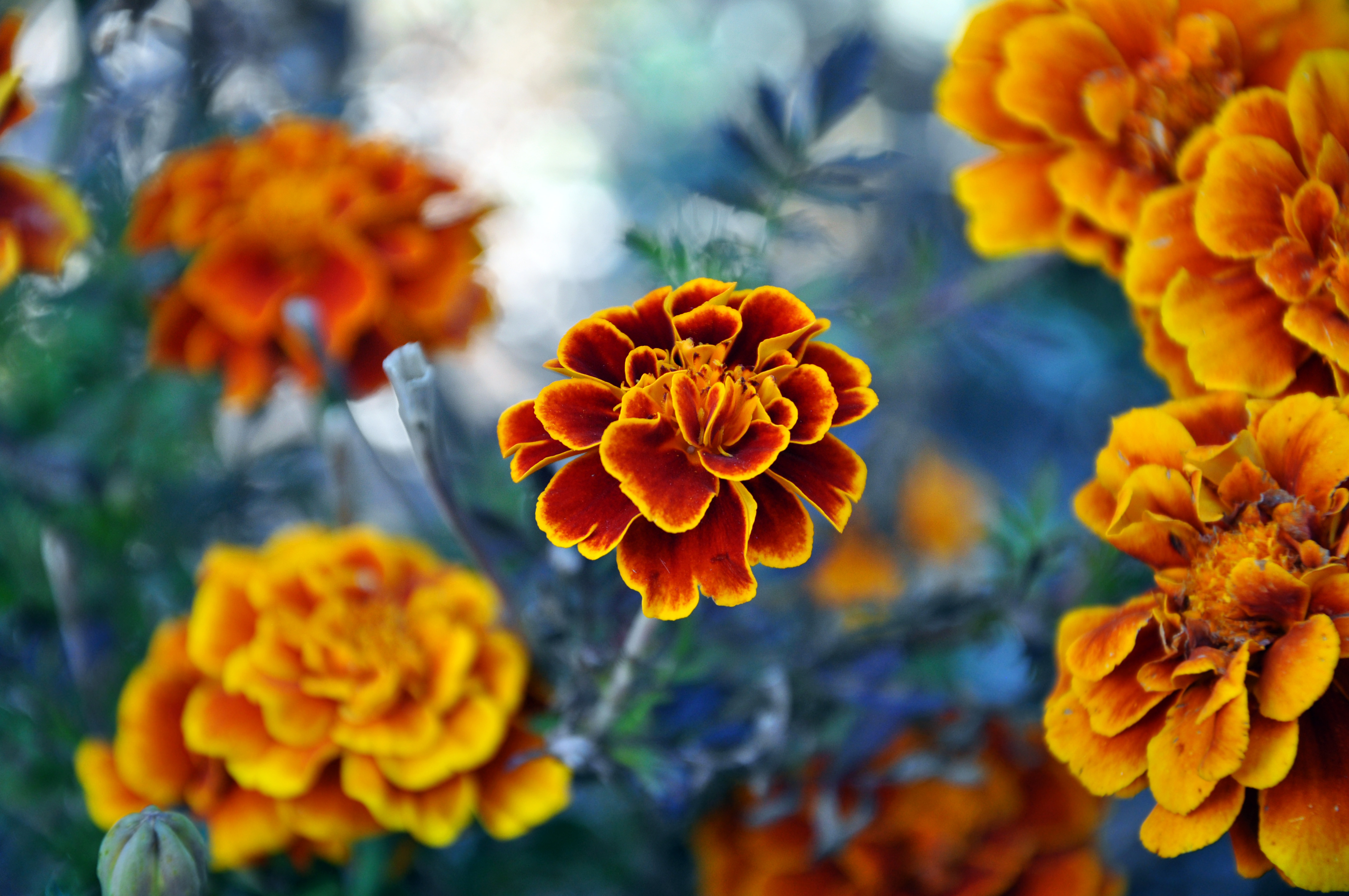 Marigold by sugoidave