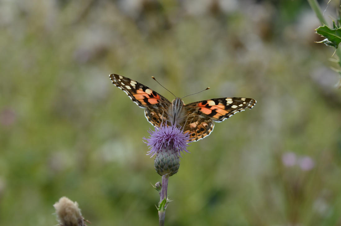 Thistle butterfly (Vanessa cardui) by Johndoop