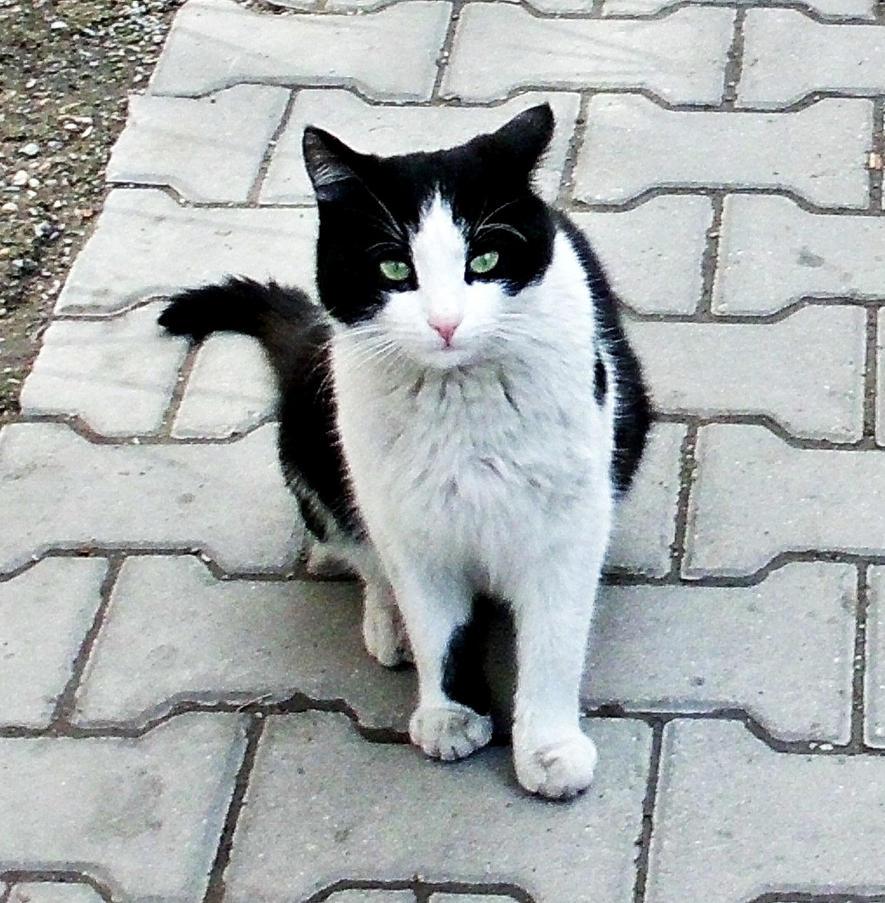 tuxedo cat by ANDMAiYESi1986