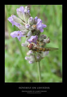Hoverfly on Lavender
