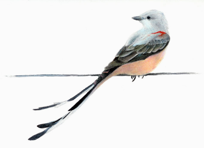 Scissor tailed flycatcher clipart - photo#10