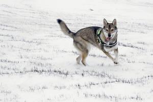 Tamaskan in snow 1 by InnerTruth