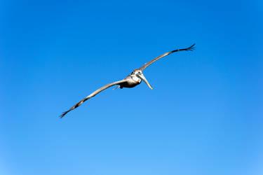 Pelican by DrJest