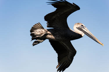 Another Pelican by DrJest