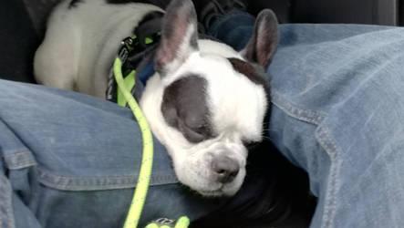 Nougat sleeping after a long walk