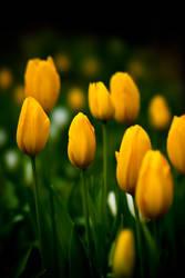 Tulip 7