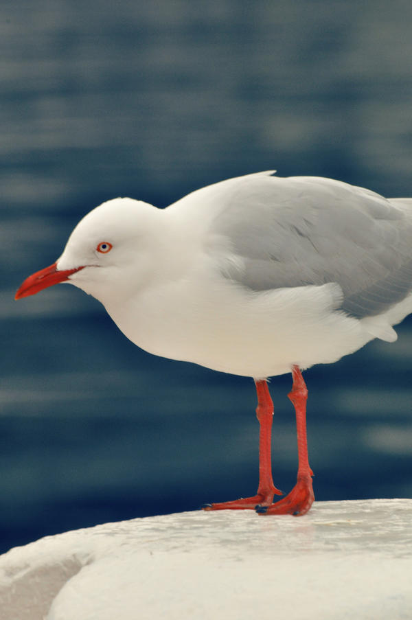 Seagull closeup by PACHICRAZY