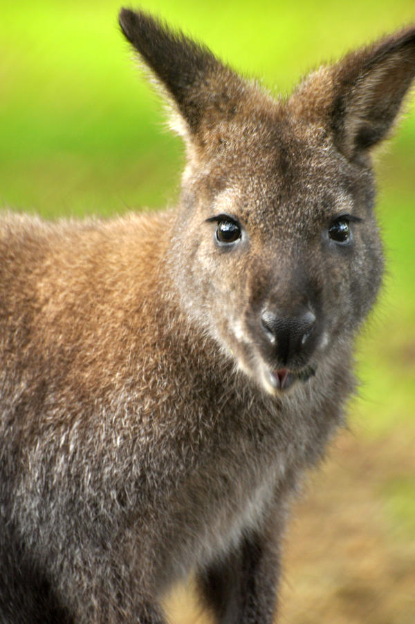 Wallaby closeup by PACHICRAZY