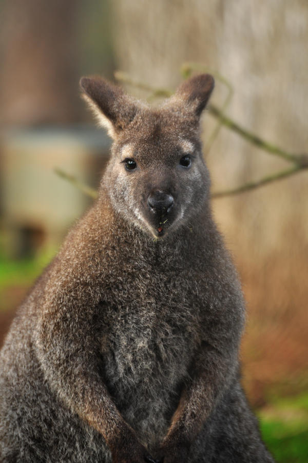 Wallaby by PACHICRAZY