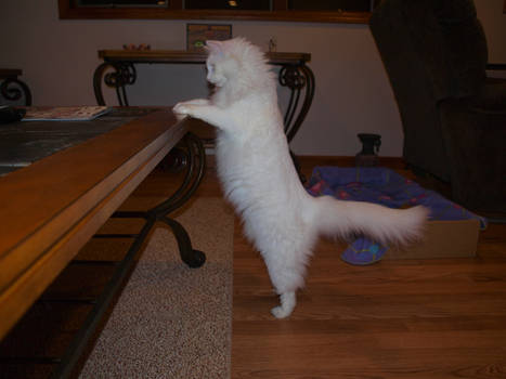 Cat standing at table
