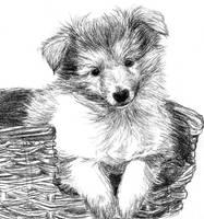 Collie puppy by Amarevia