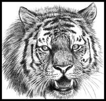 Bengal tiger by Amarevia
